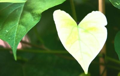 blad hjärta